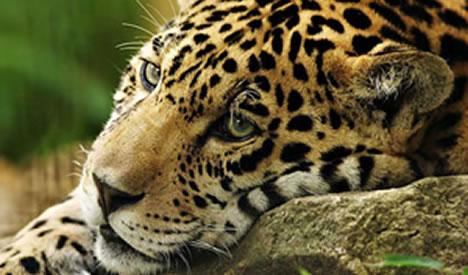 Leuk Voor Kids Wat Je Nog Niet Wist Over De Jaguar
