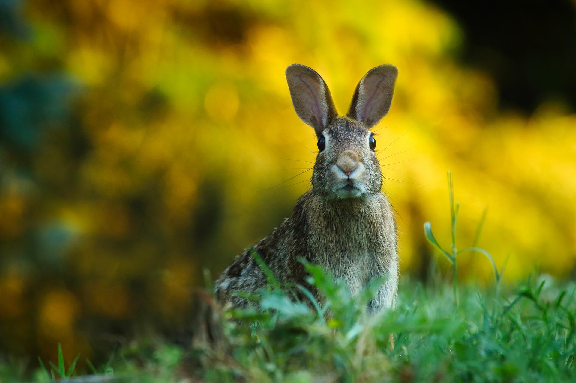 download wallpaper: een alert konijntje wallpaper