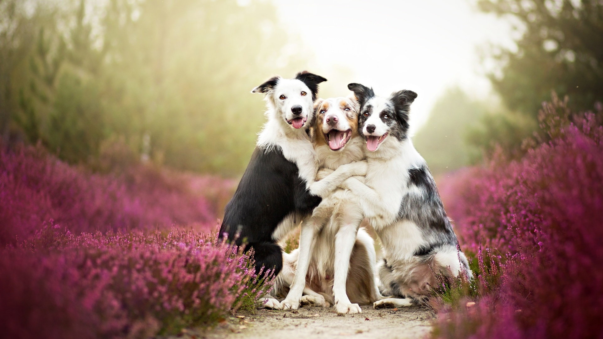 download wallpaper: Border Collie groepsknuffel wallpaper