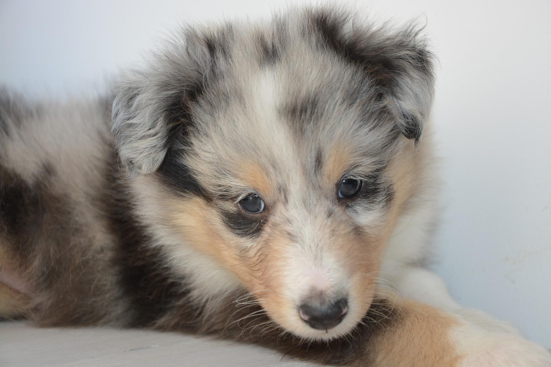 download wallpaper: Australian Shepherd puppie wallpaper