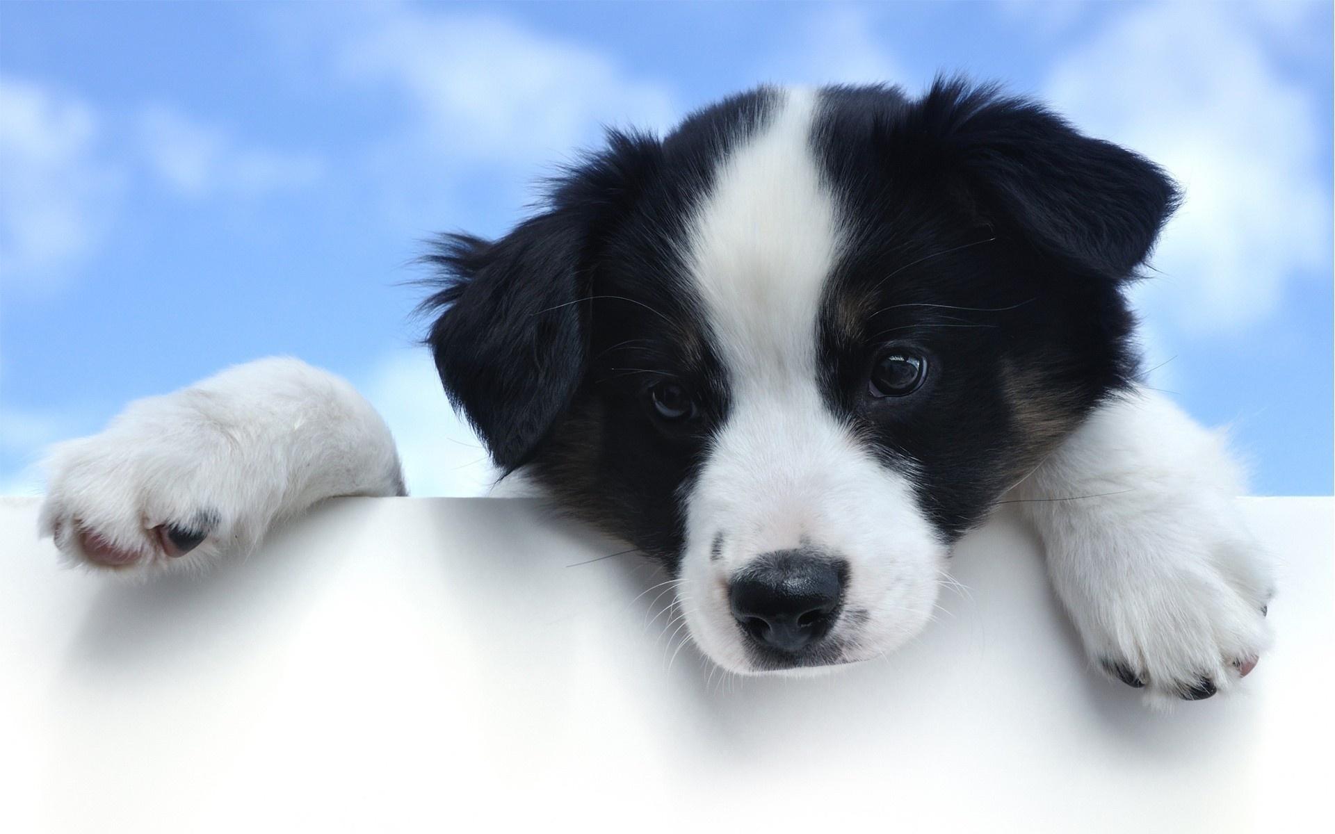 download wallpaper: Bordercollie puppie wallpaper