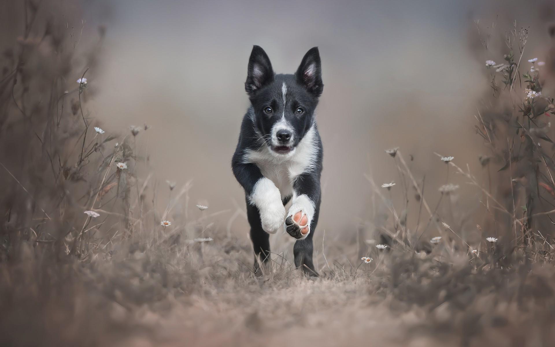 download wallpaper: Border Collie puppie komt aanrennen wallpaper