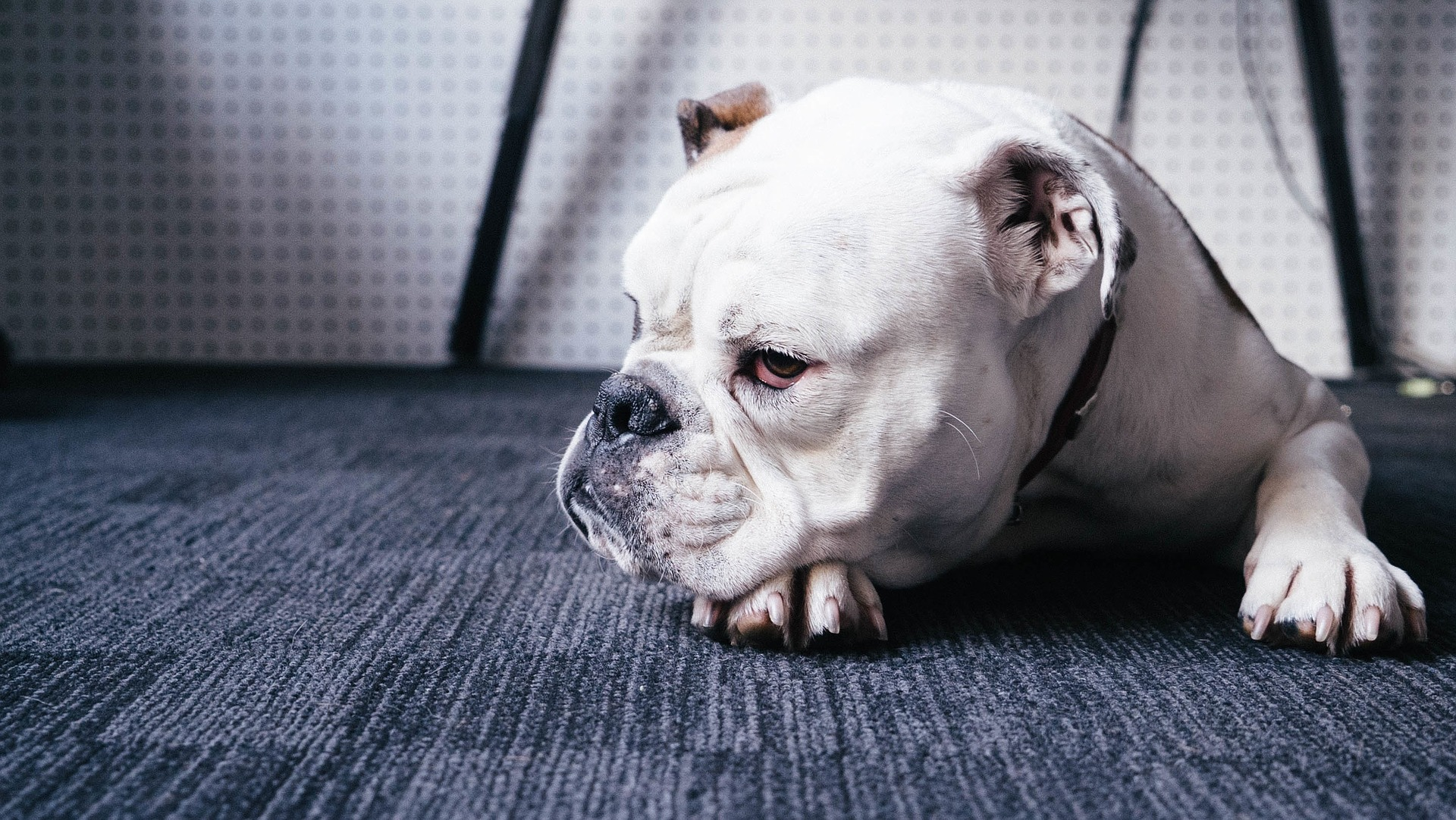 download wallpaper: bulldog wallpaper