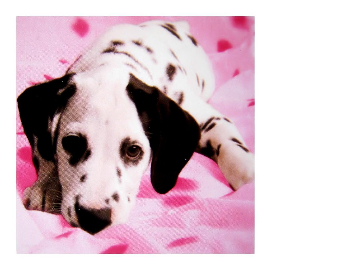 download wallpaper: Dalmatier wallpaper