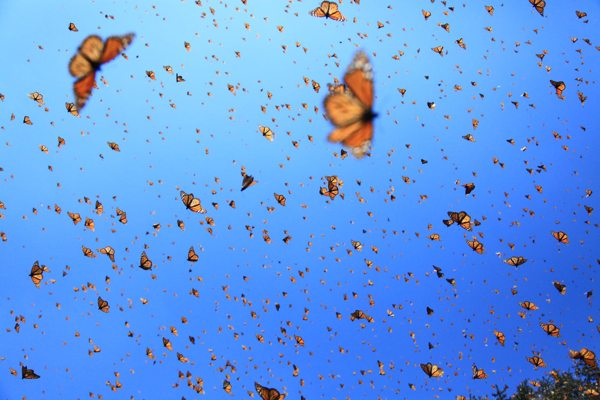 download wallpaper: de vlucht van de vlinders wallpaper