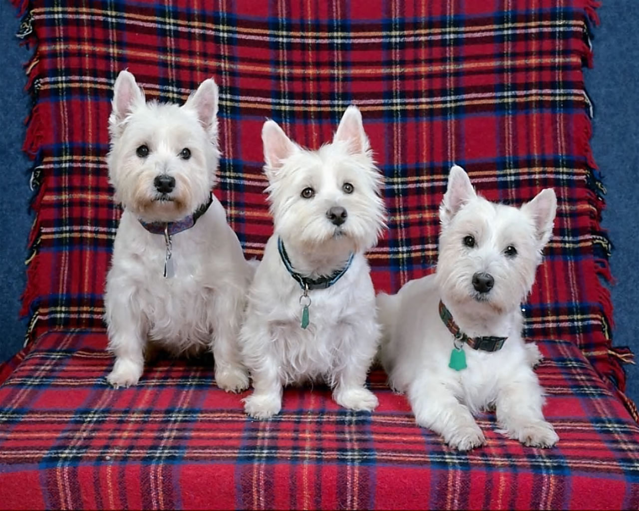 download wallpaper: drie hondjes op de bank wallpaper