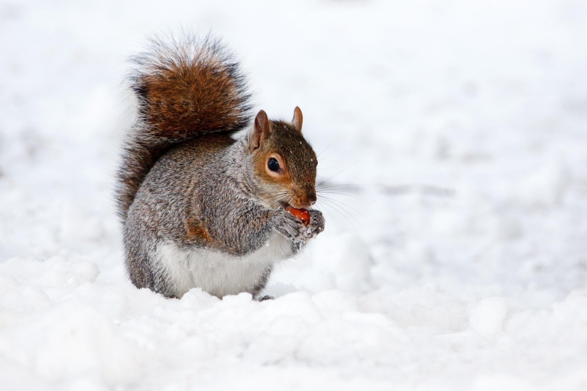 download wallpaper: eekhoorn in de sneeuw wallpaper