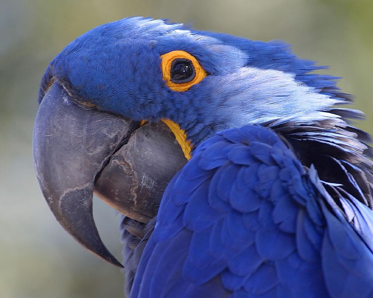 download wallpaper: een Amazone papegaai wallpaper