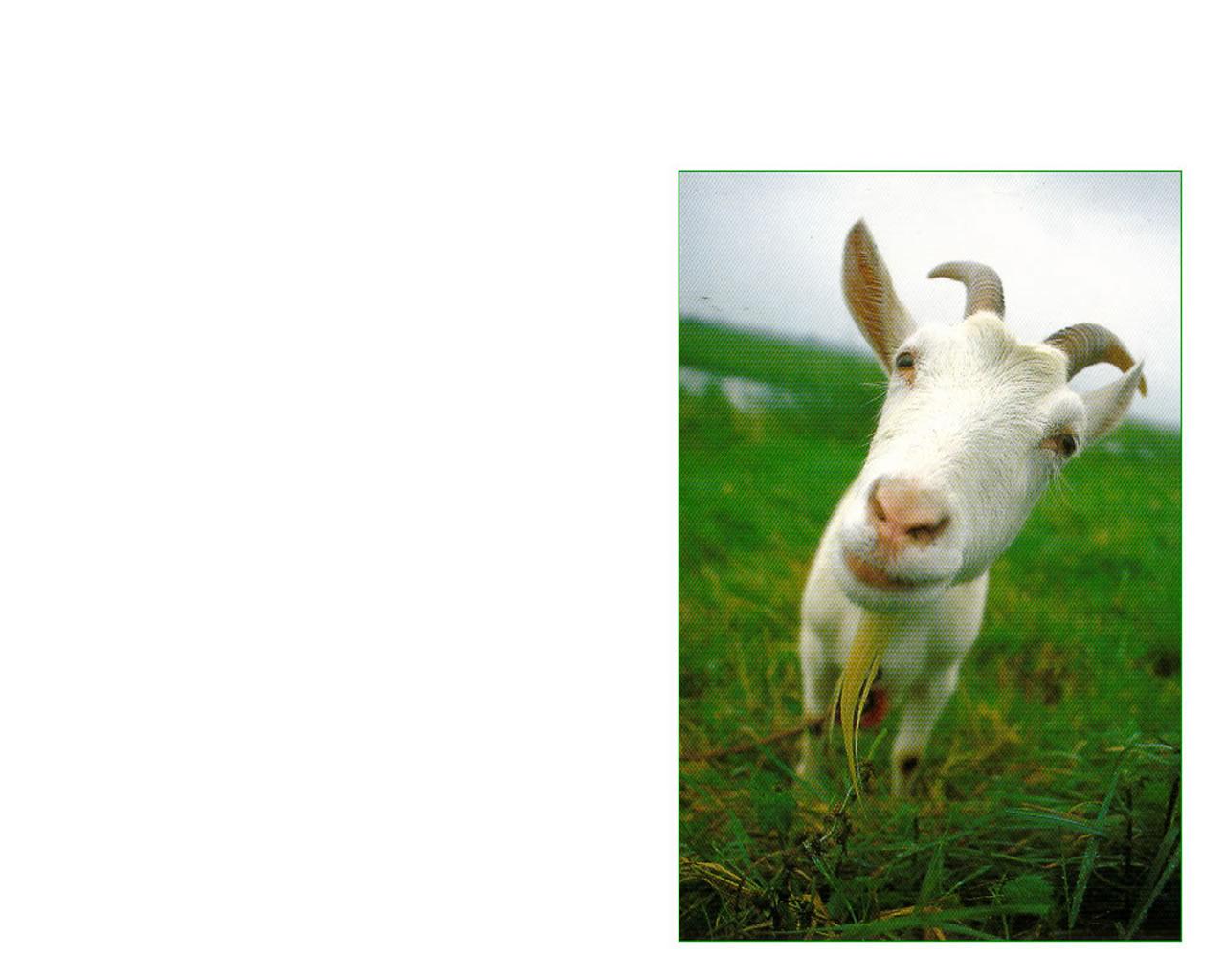 download wallpaper: een geit in de wei wallpaper