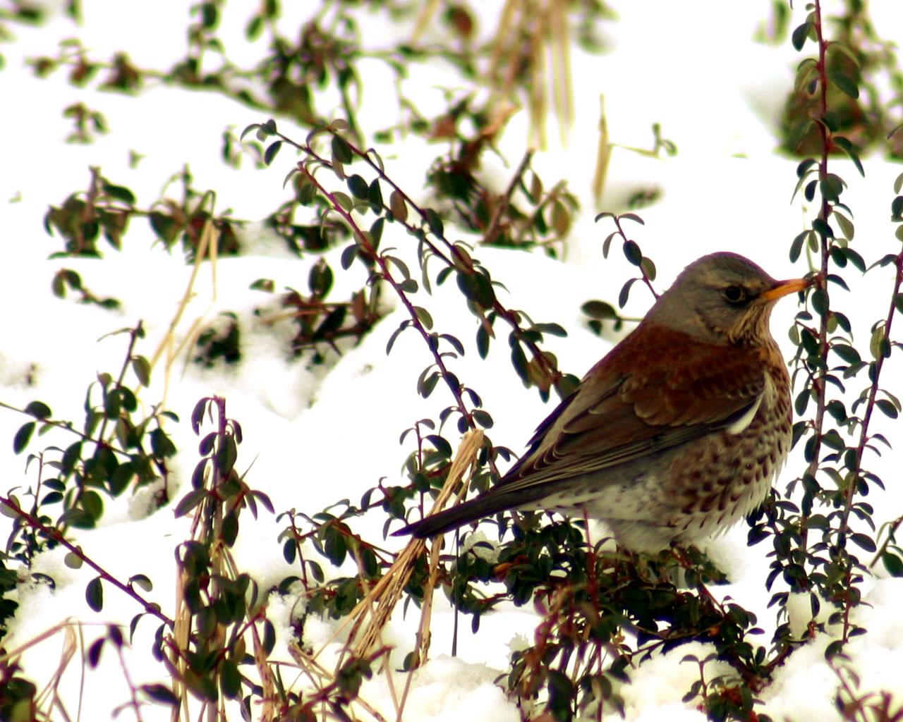 download wallpaper: een kramsvogel in de sneeuw wallpaper