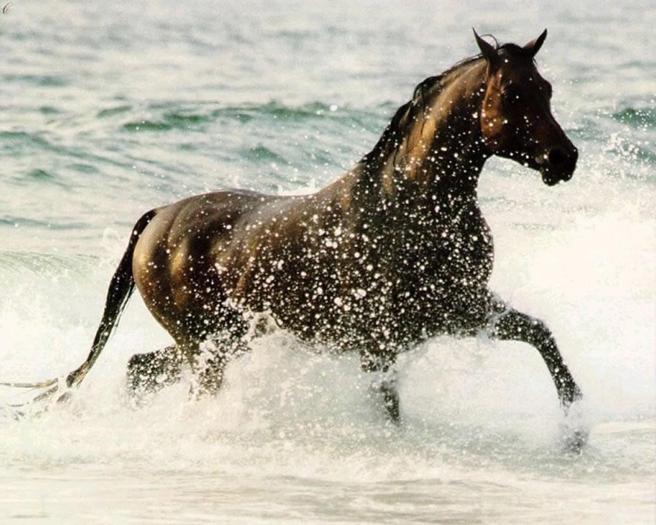 download wallpaper: een paard in de branding wallpaper