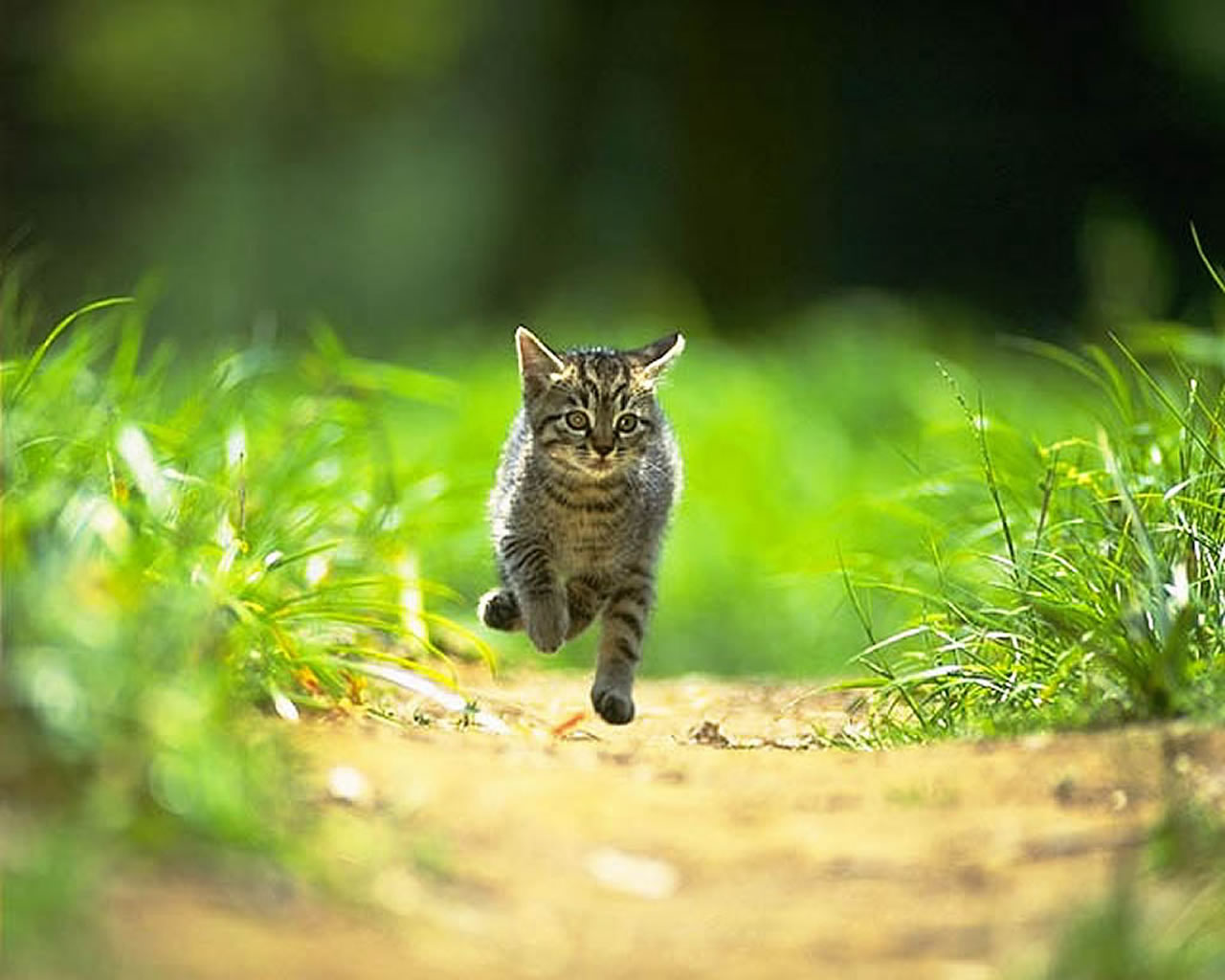 download wallpaper: een rennende kat wallpaper