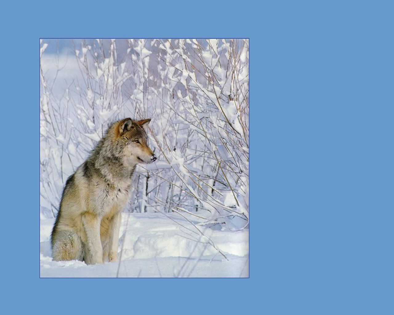 download wallpaper: een wolf in de sneeuw wallpaper