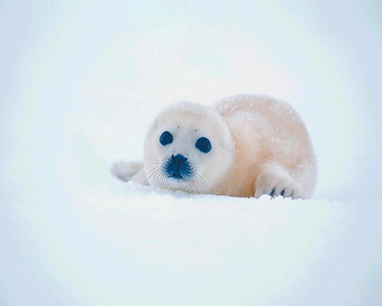 download wallpaper: een zeehond baby wallpaper