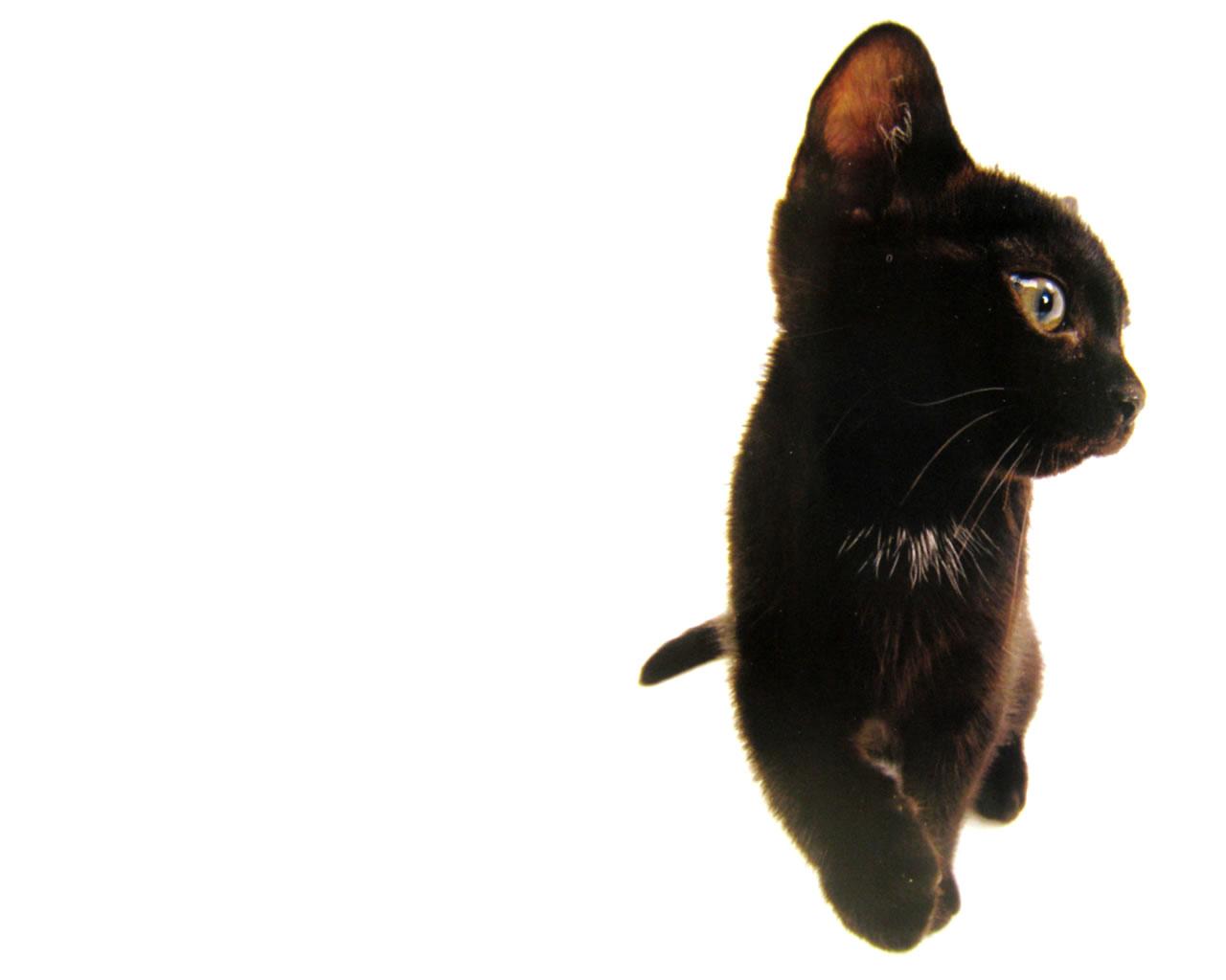 download wallpaper: een zwarte kat wallpaper