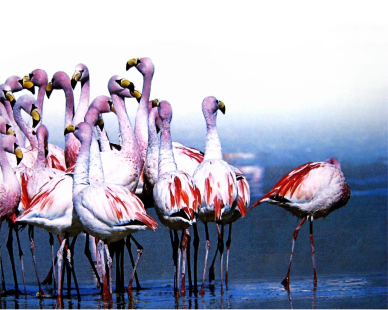 download wallpaper: flamingos baden pootje wallpaper