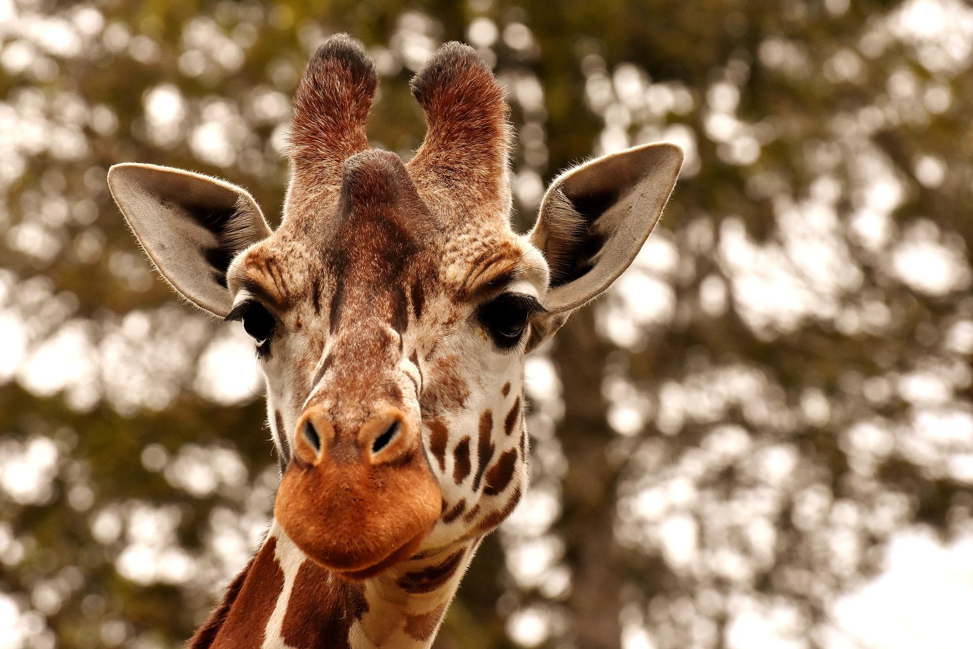 download wallpaper: giraf wallpaper