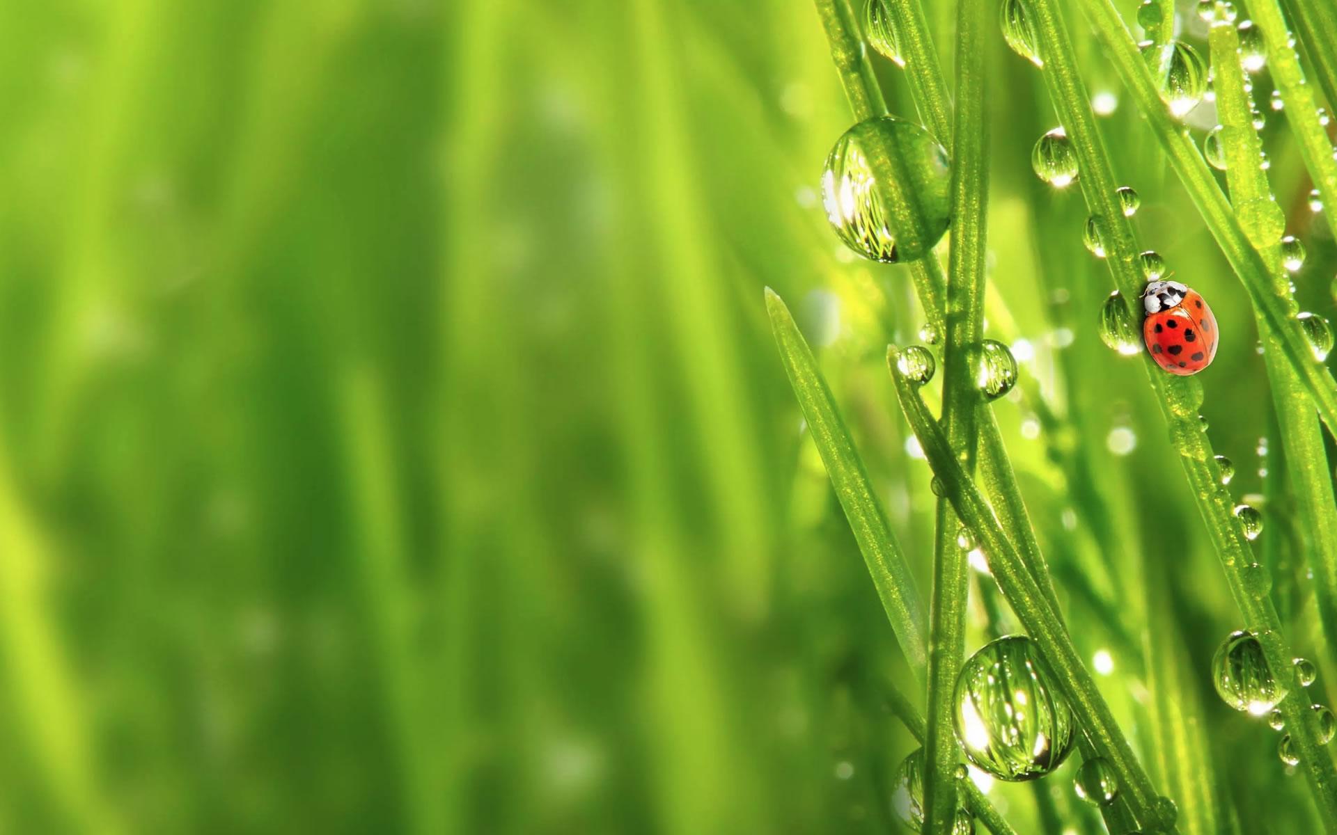download wallpaper: bedauwd gras met een lieveheersbeestje wallpaper