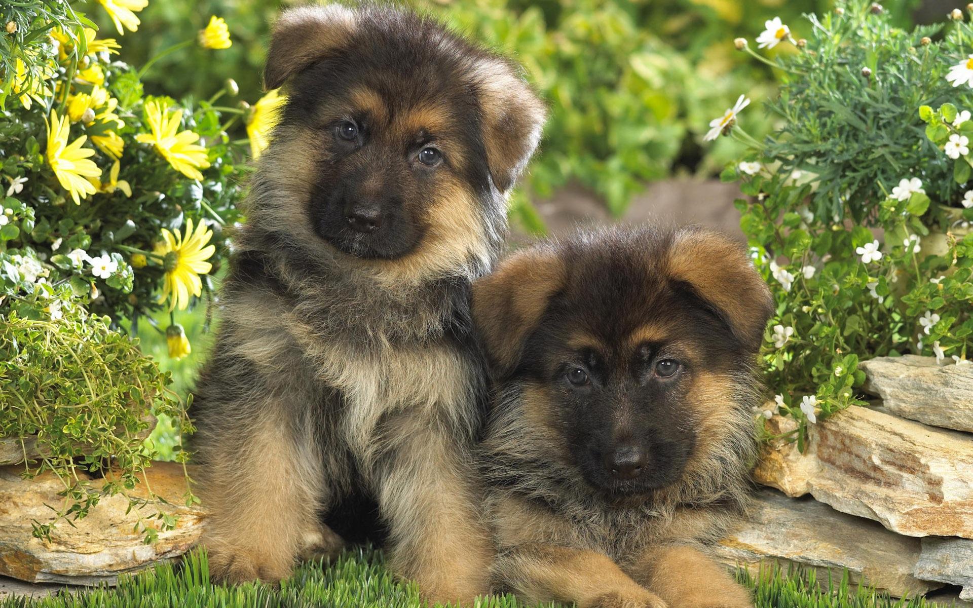 download wallpaper: Duitse Herder puppies wallpaper