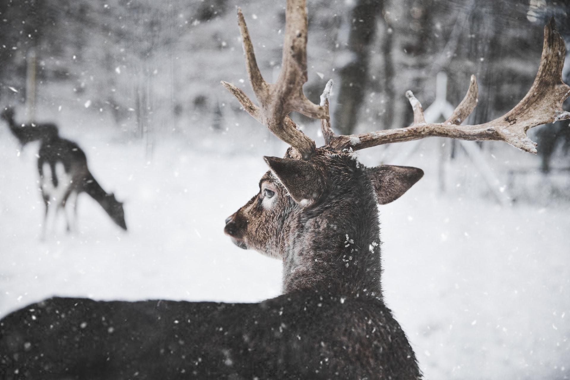 download wallpaper: hert in de sneeuw wallpaper