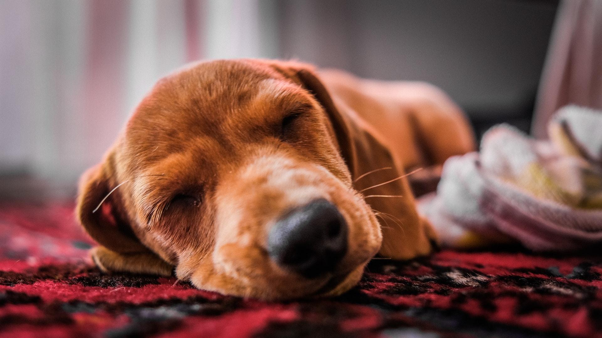 download wallpaper: hondje diep in slaap wallpaper