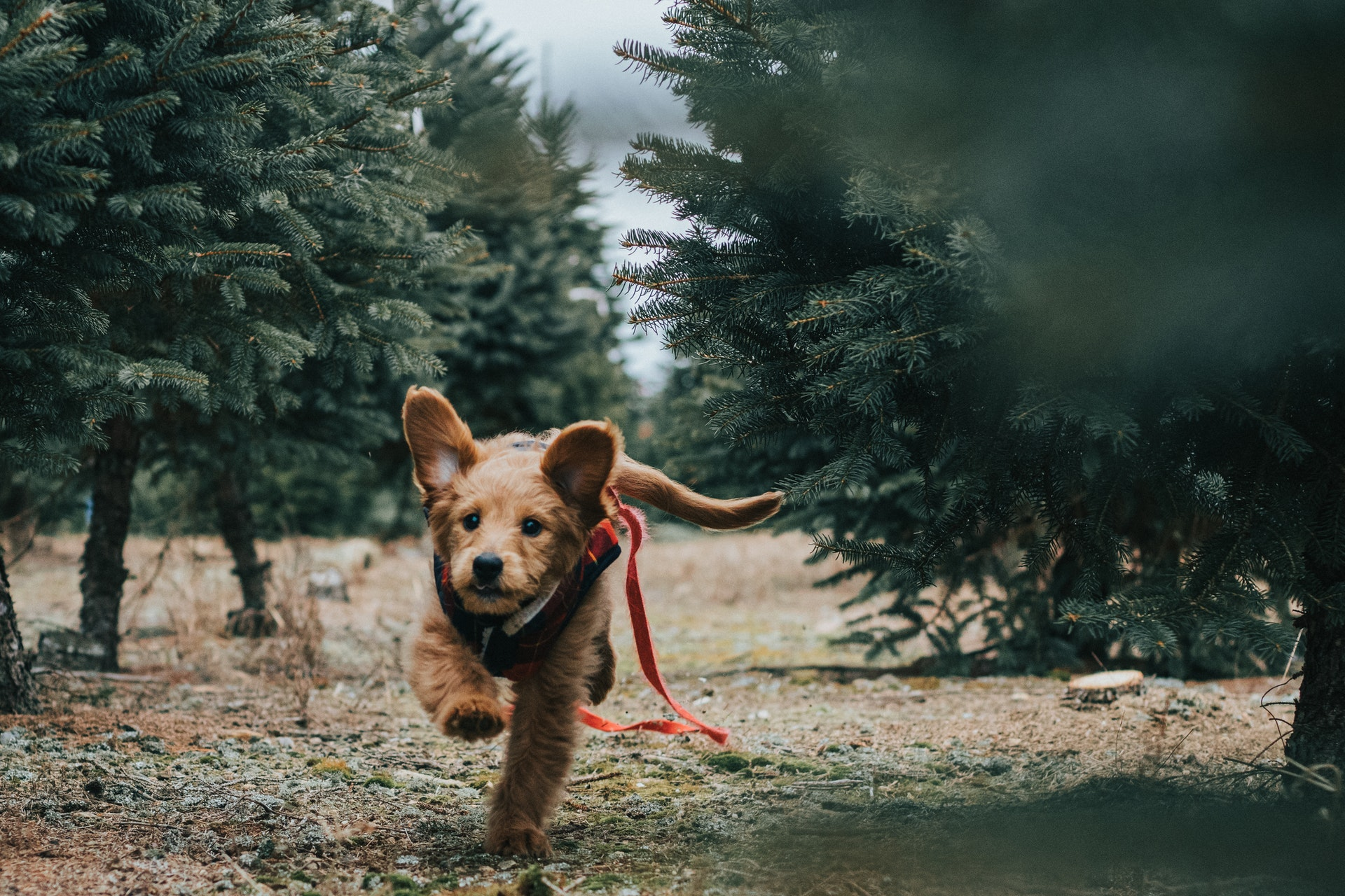 download wallpaper: hondje tussen de kerstbomen wallpaper