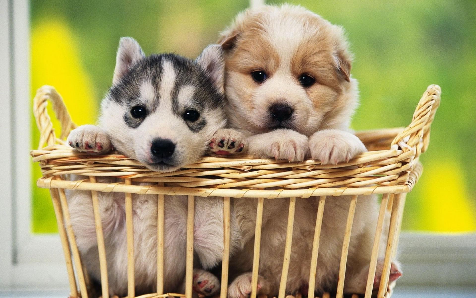 download wallpaper-husky-puppies wallpaper