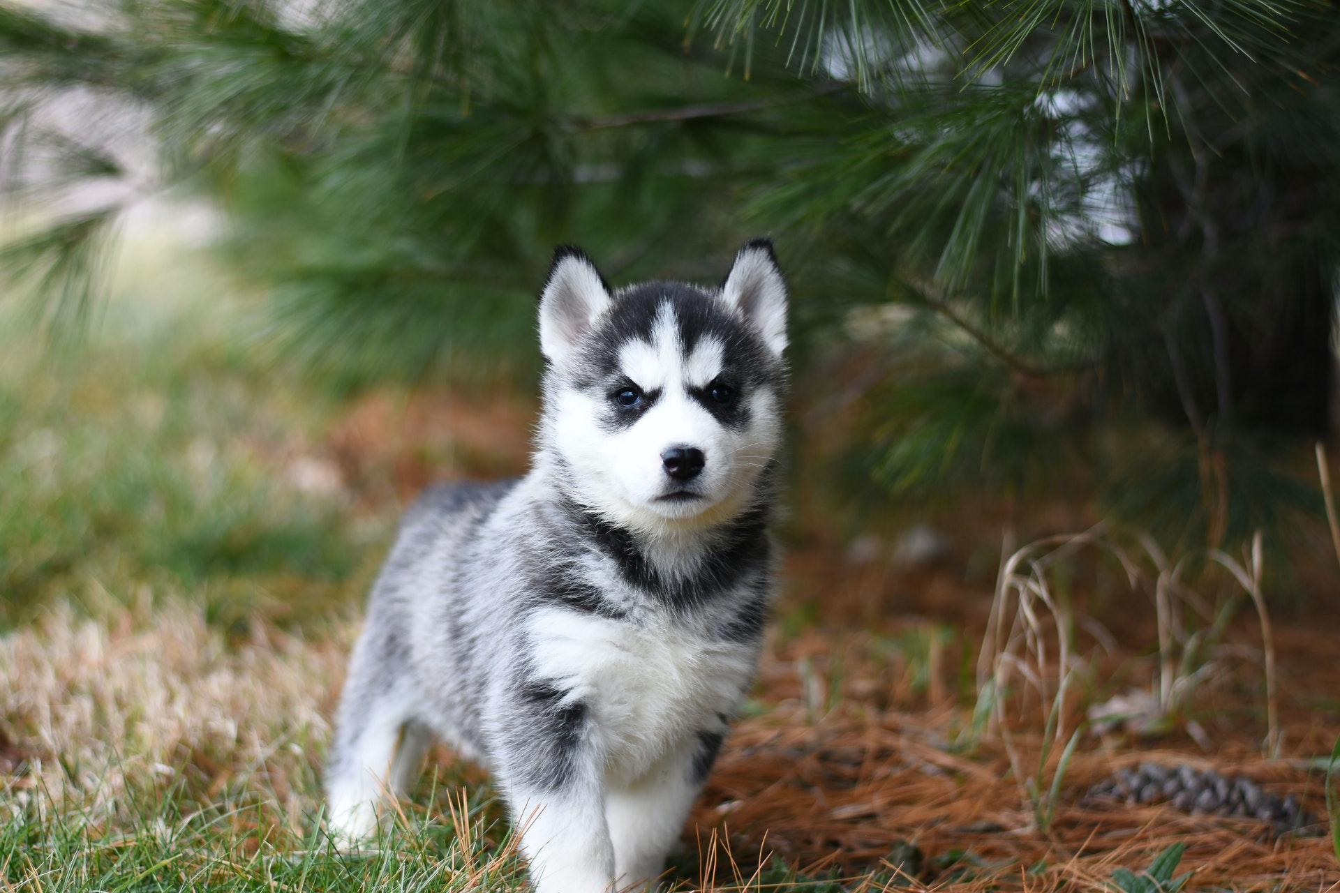 download wallpaper: husky puppy wallpaper