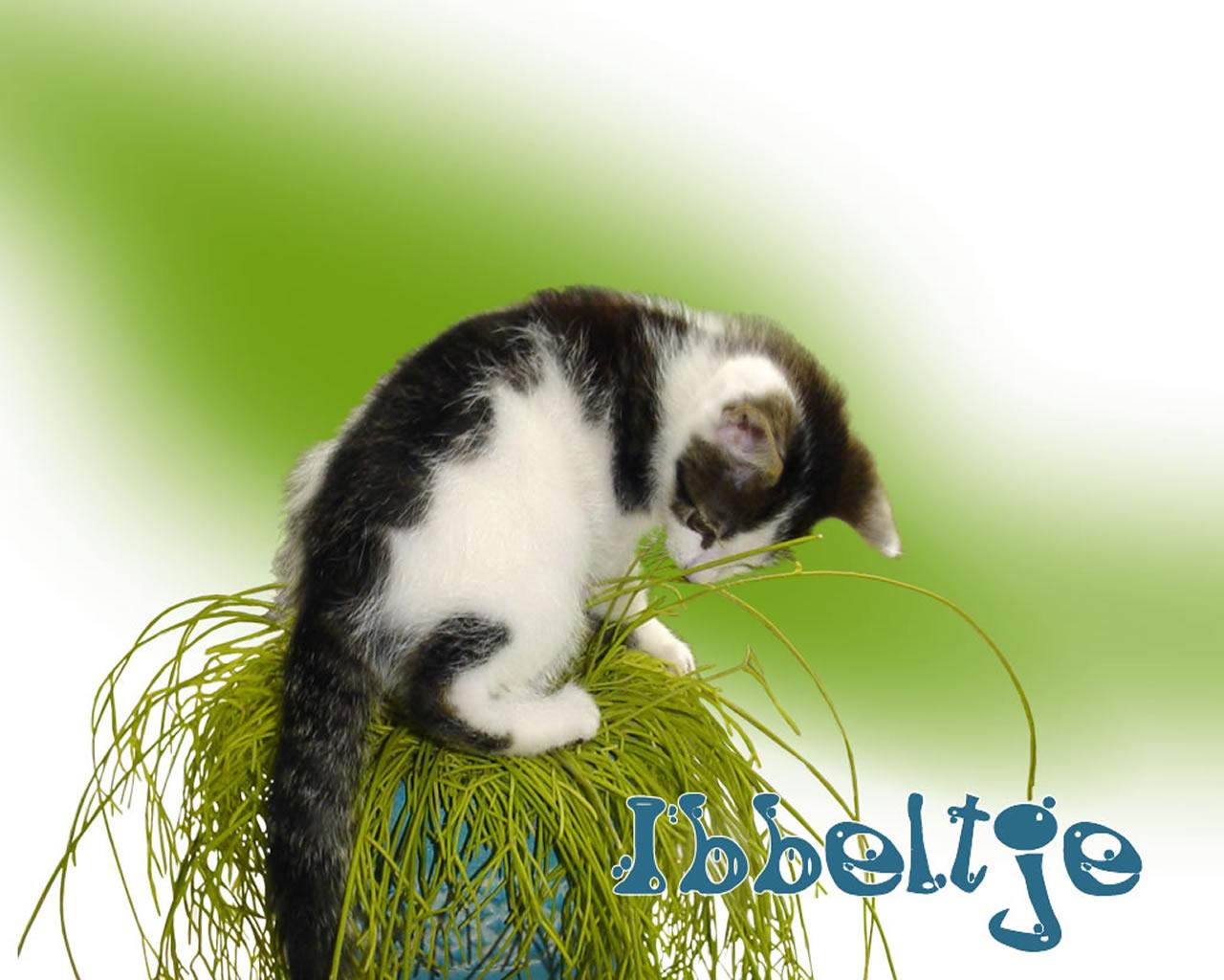 download wallpaper: Ibbeltje is een stoute kat wallpaper