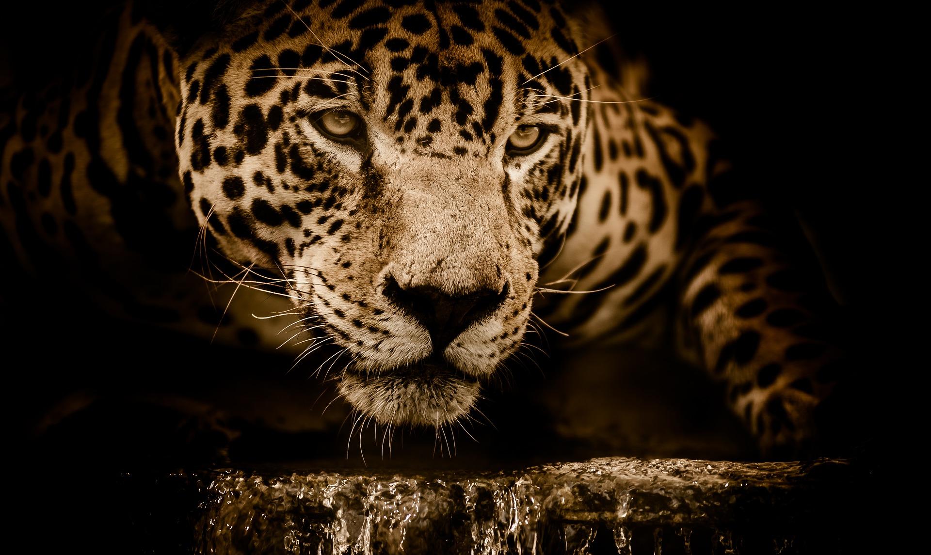 download wallpaper: jaguar wallpaper