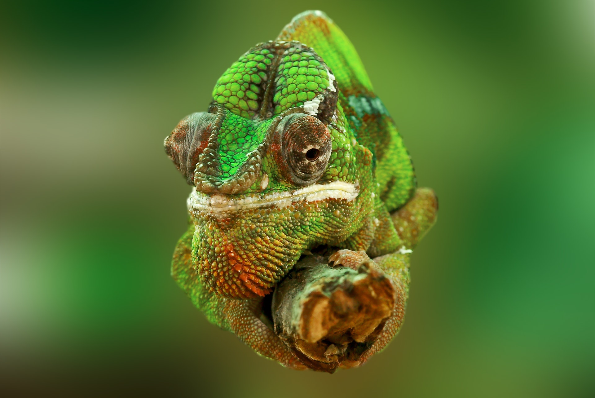 download Wallpaper: kameleon op een tak wallpaper