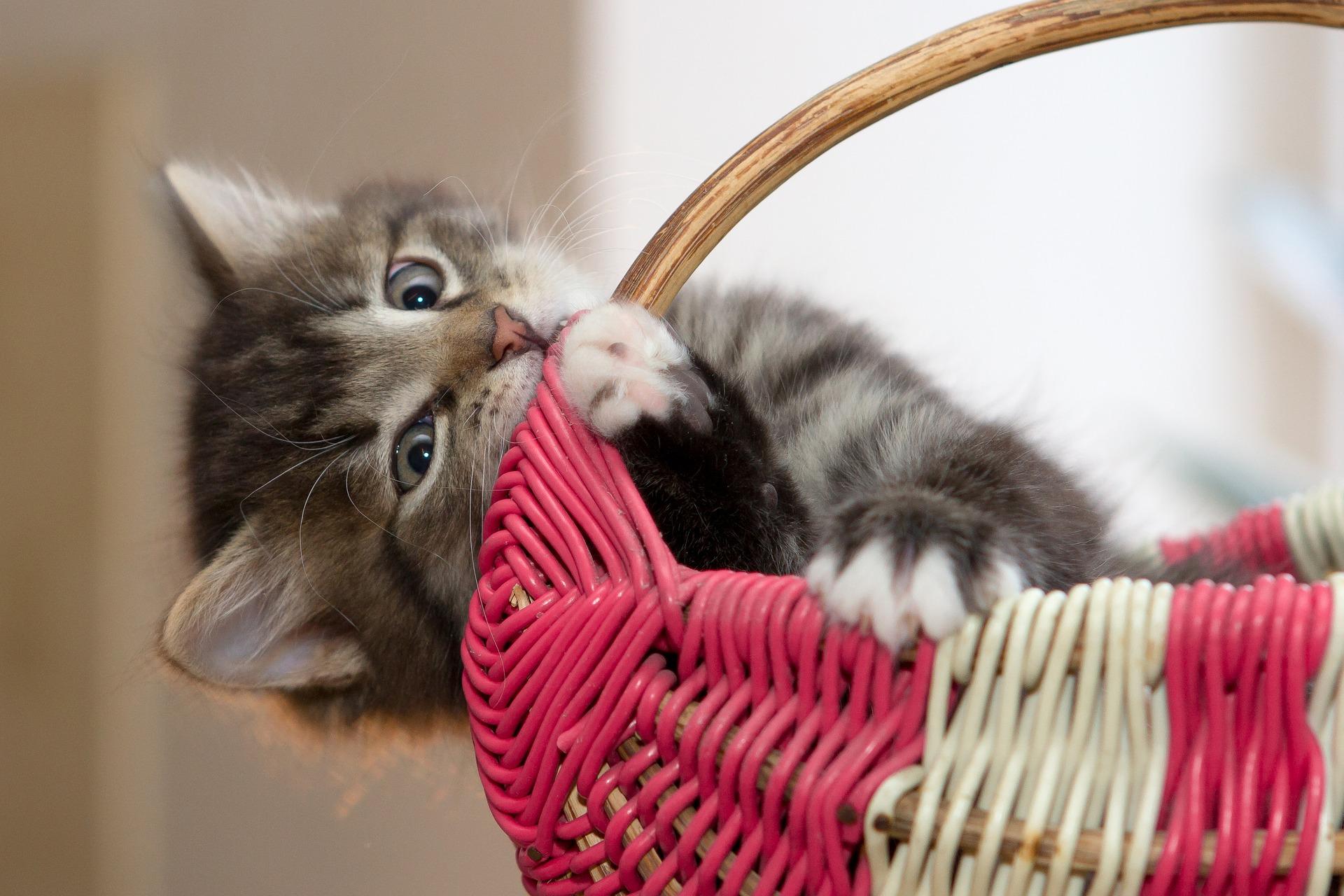 download wallpaper: kitten hangt aan een mand wallpaper