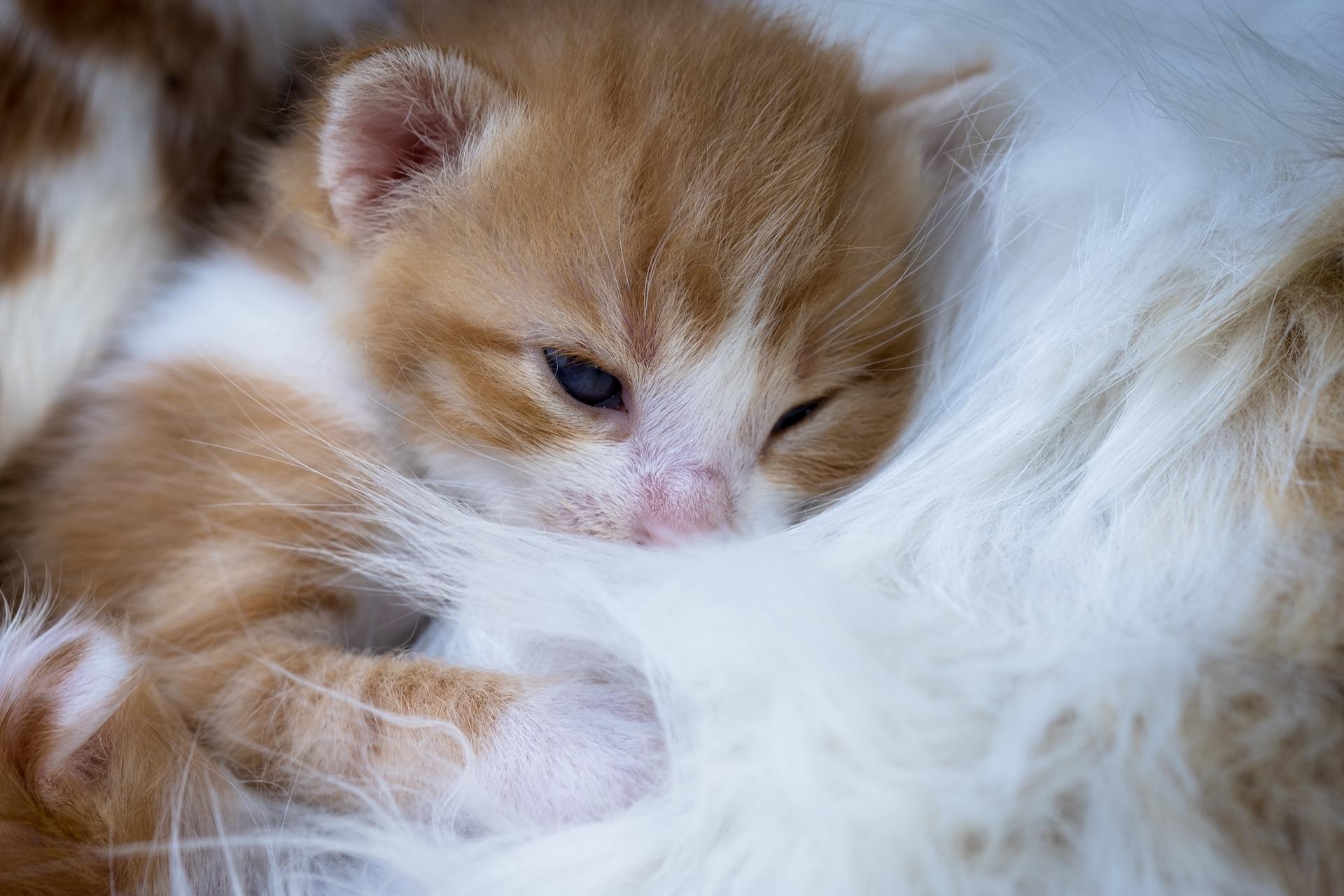 download wallpaper: roze kitten wallpaper