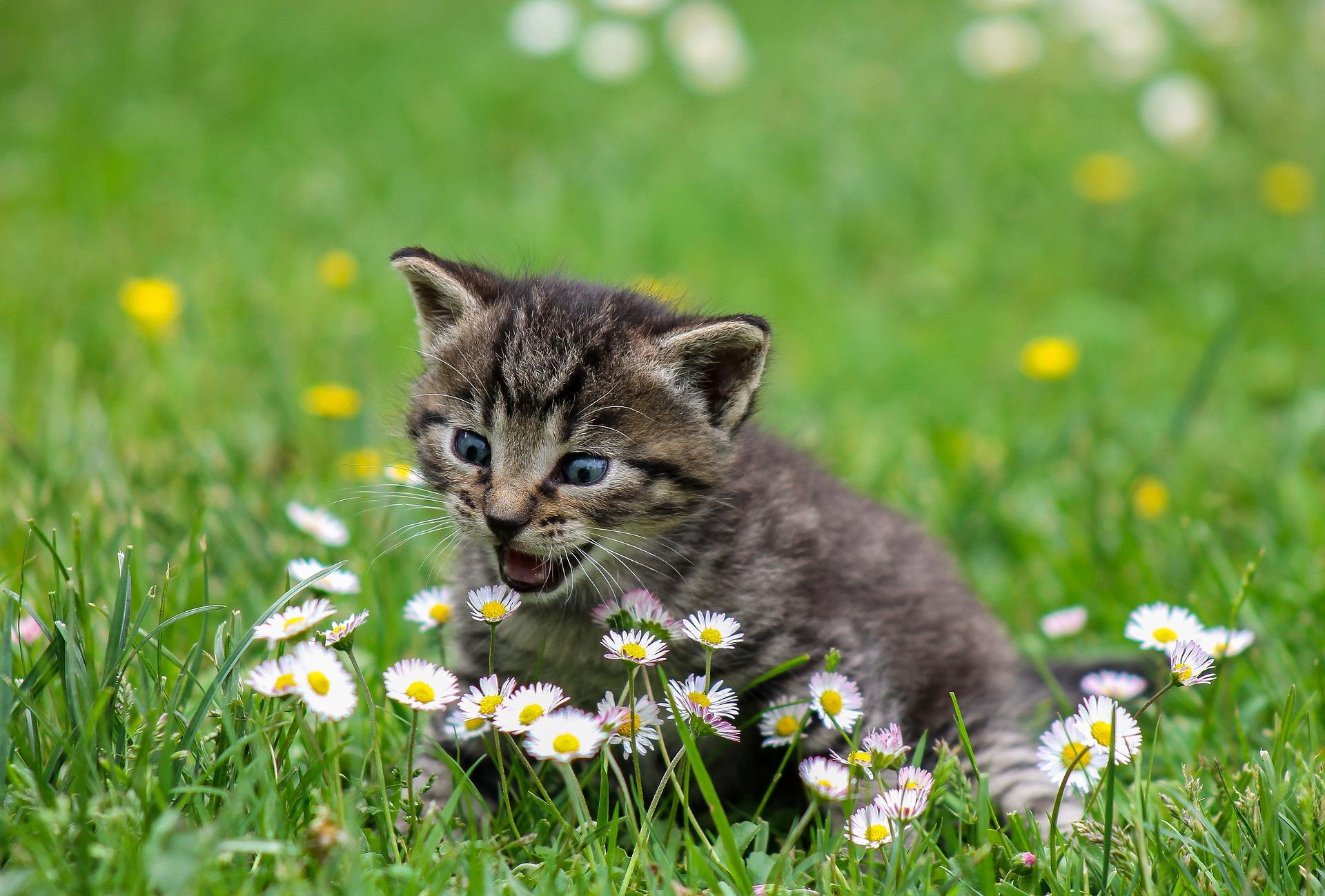 download wallpaper: kitten met madeliefjes wallpaper