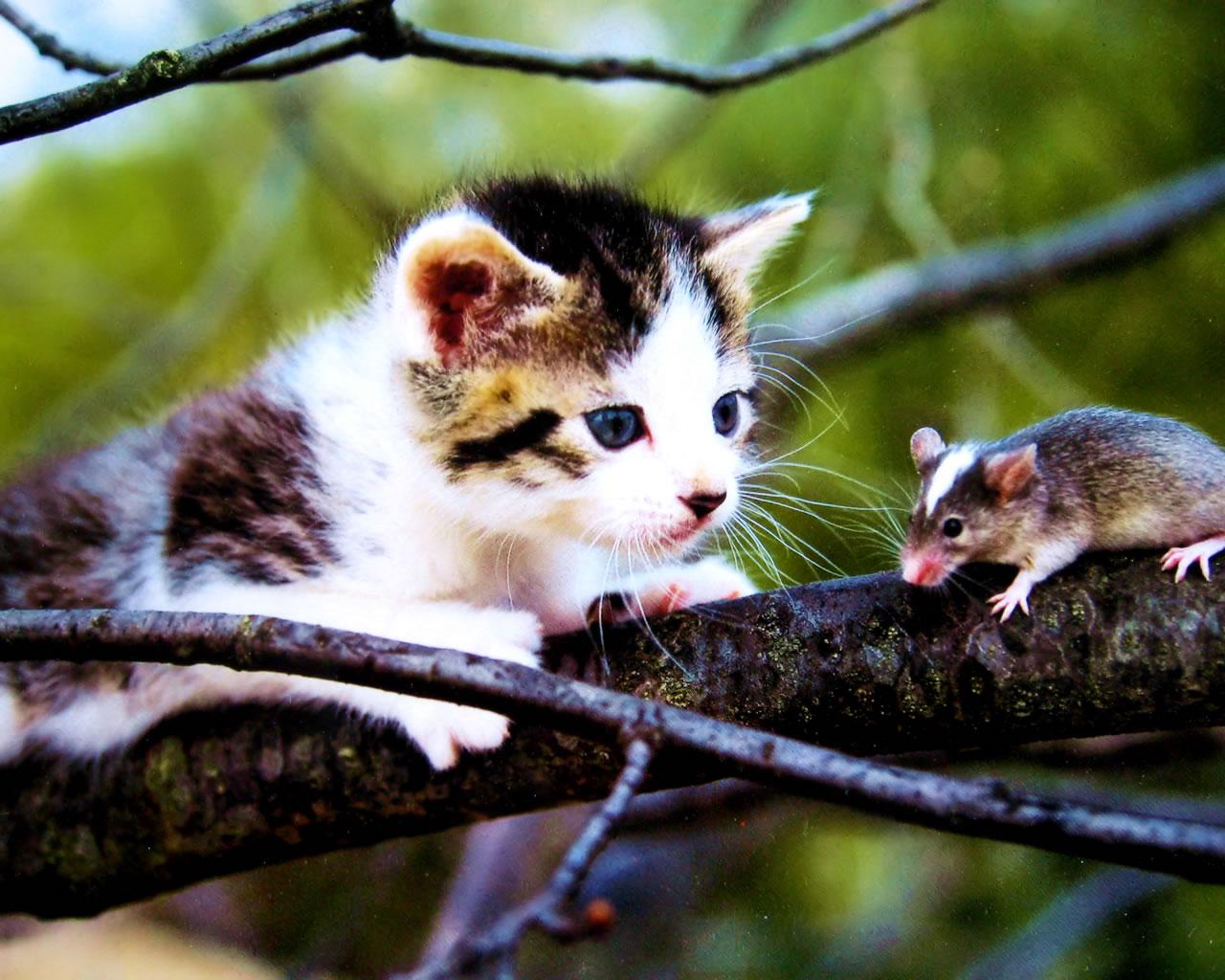 download wallpaper: kitten en muis wallpaper