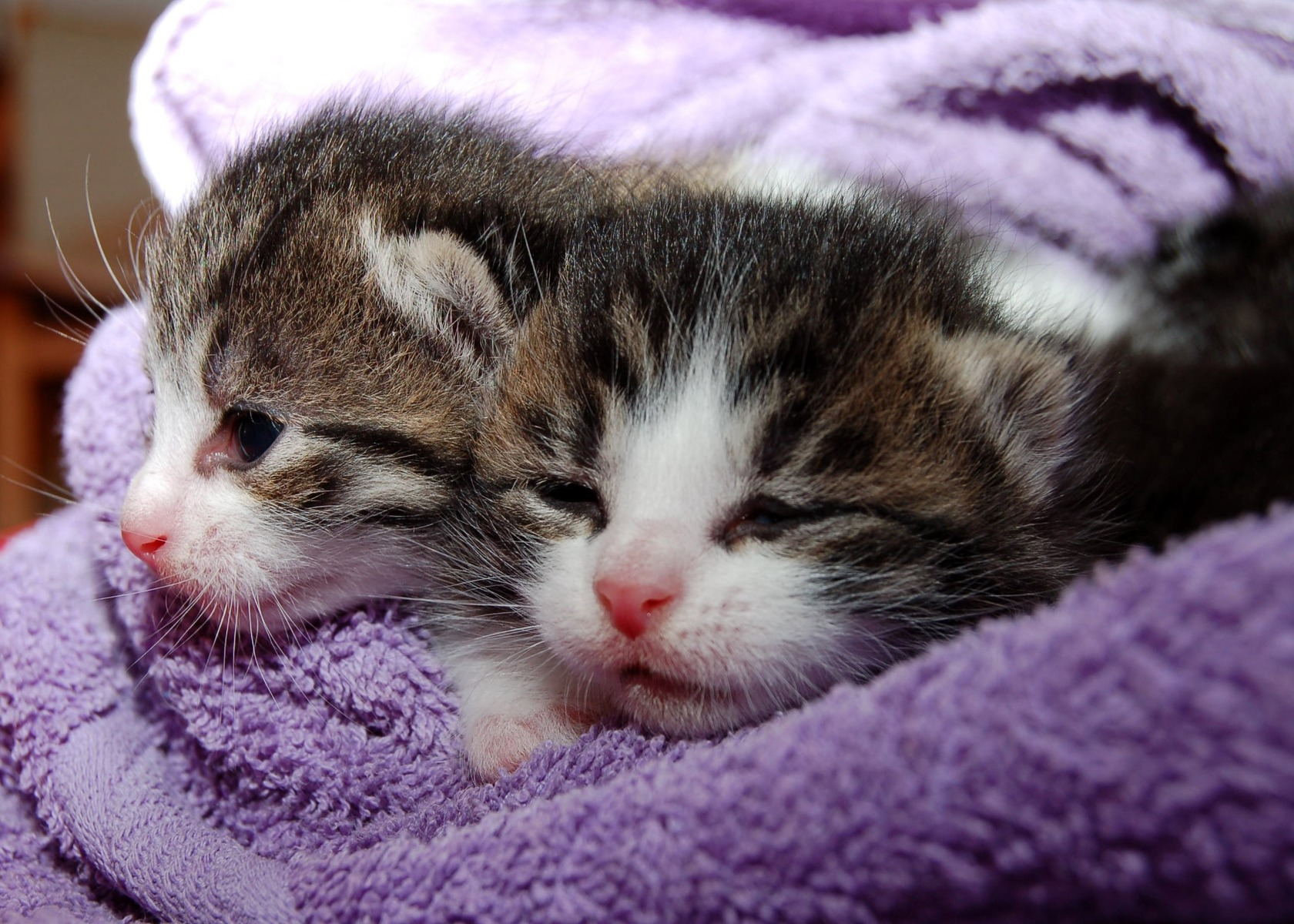 download wallpaper: kittens in een handdoek wallpaper