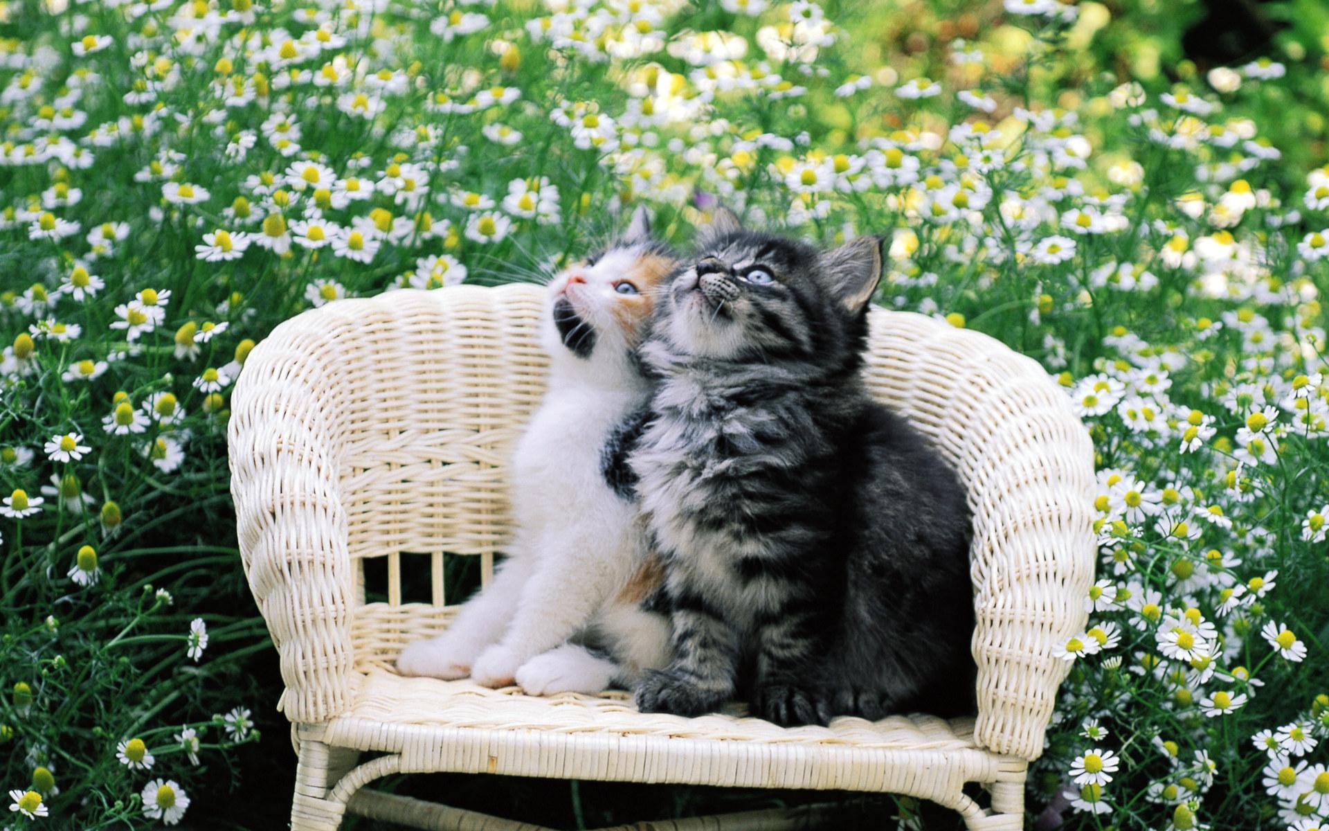 download wallpaper: kittens in een stoel wallpaper