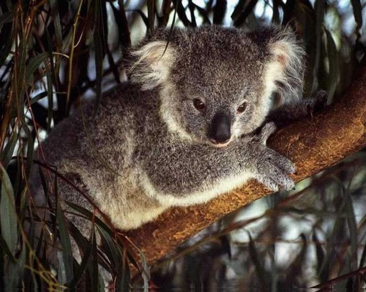 download wallpaper: koalabeertje wallpaper
