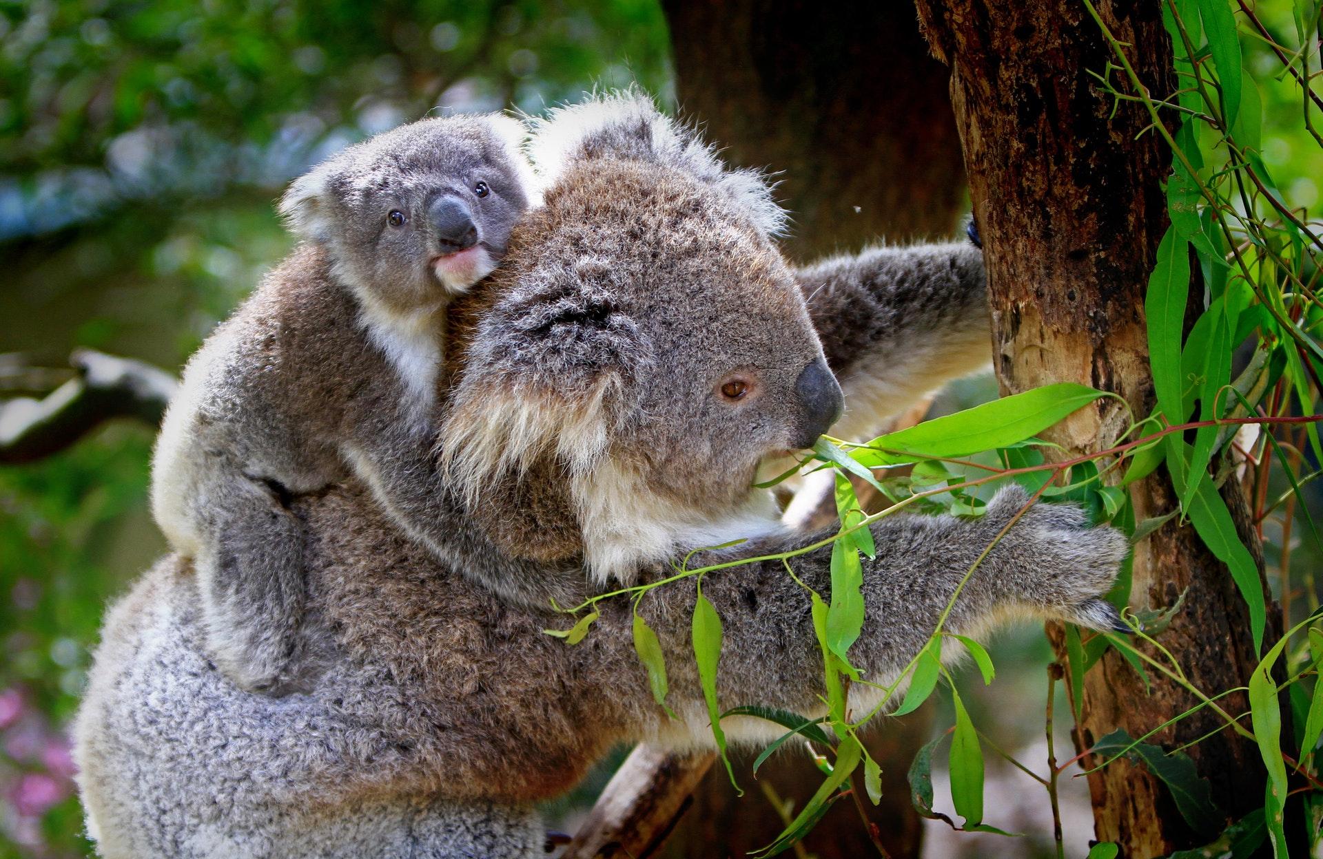 download wallpaper: koala's wallpaper