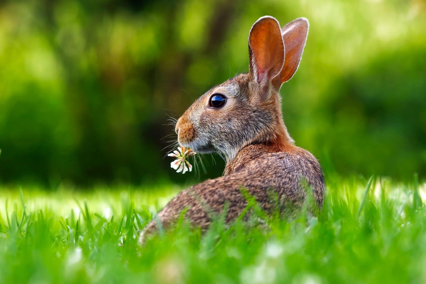 download wallpaper: konijn met een klaverbloem wallpaper