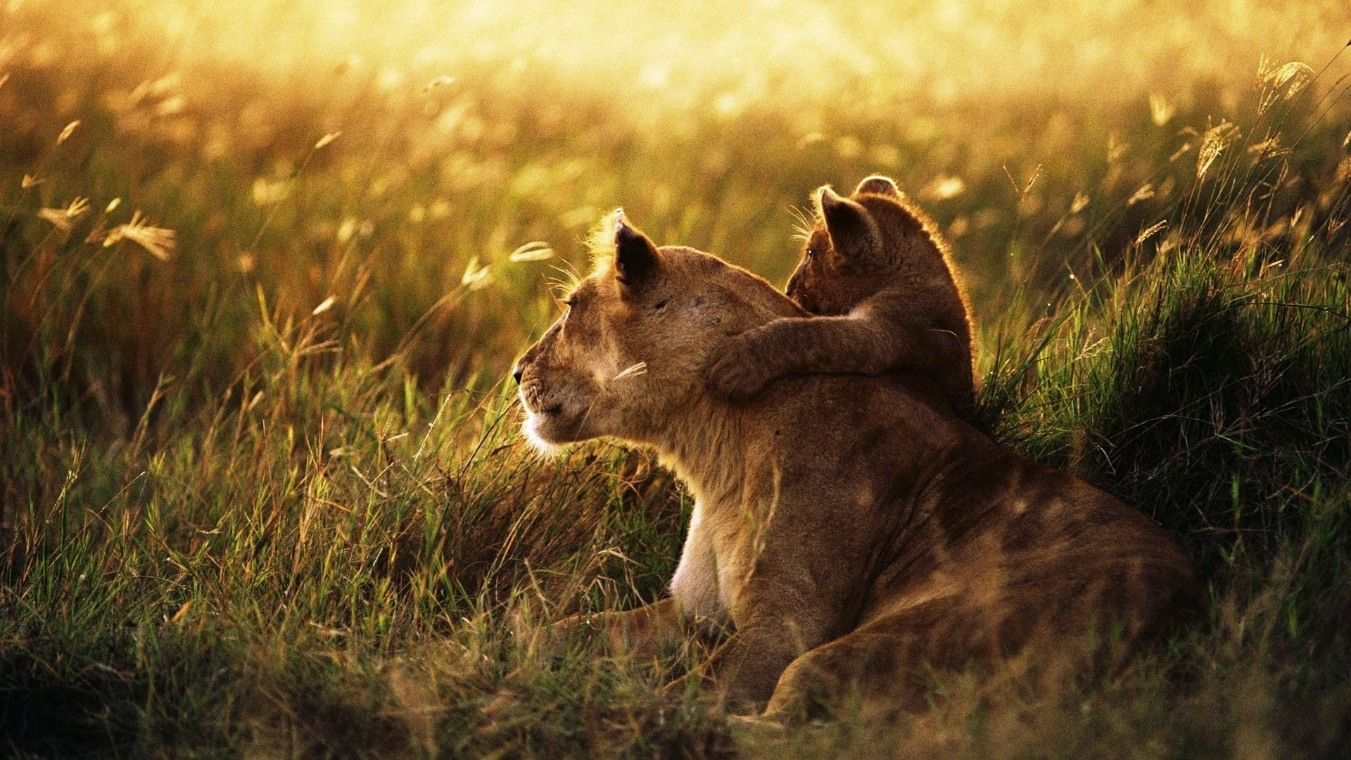 download wallpaper: een leeuwin en haar welpje op de savanne wallpaper