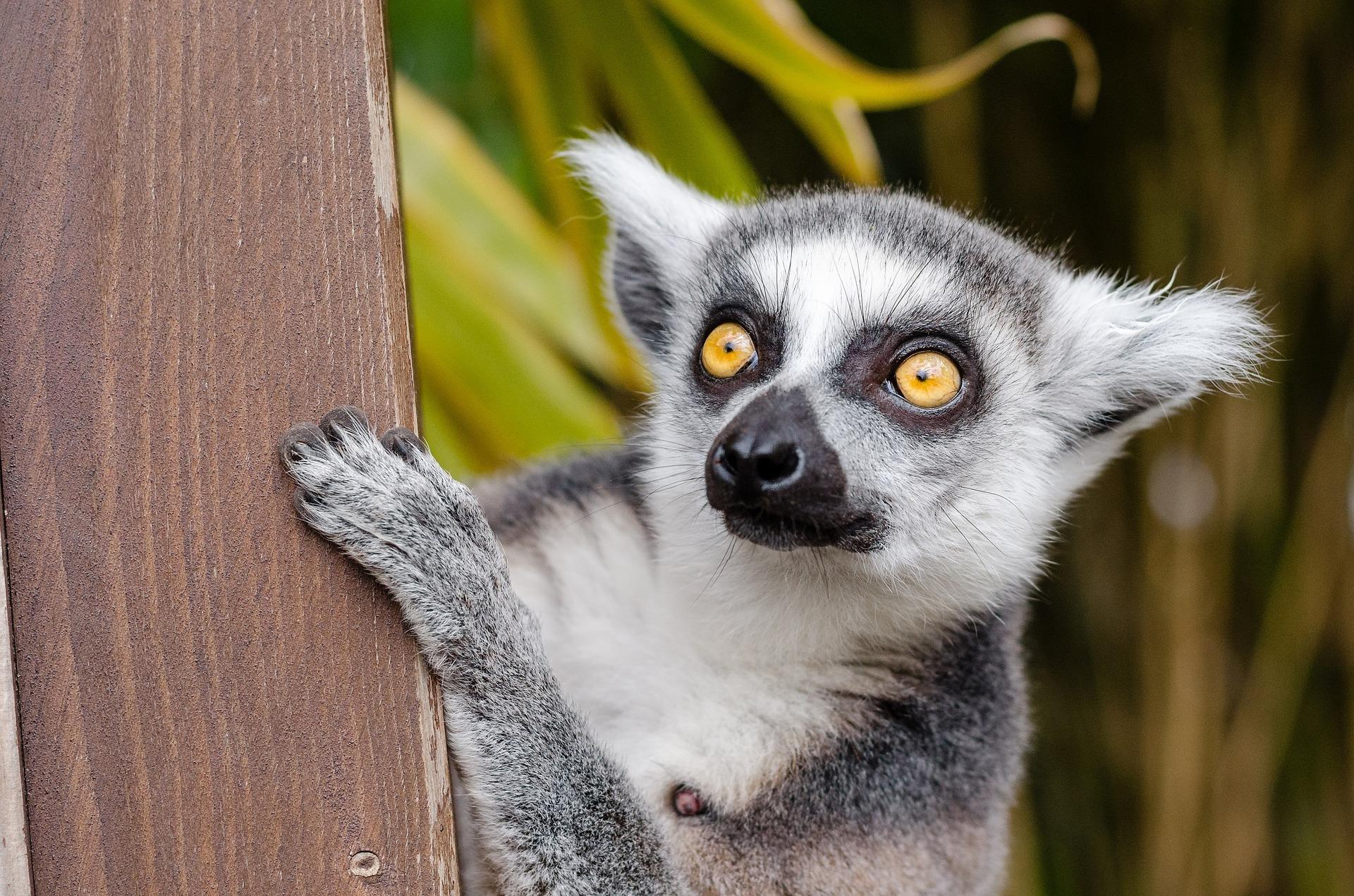 download wallpaper: Lemur wallpaper