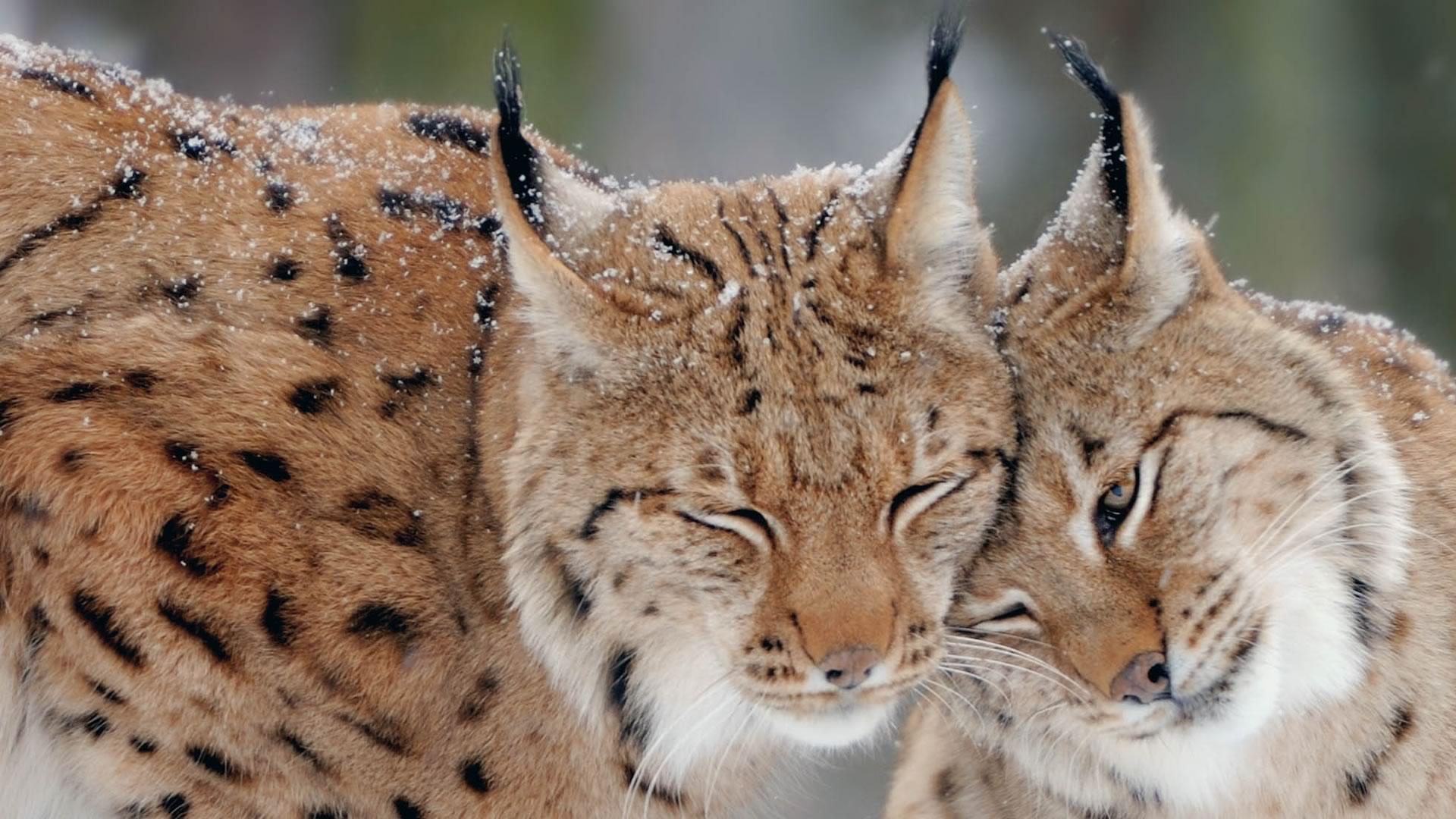 download wallpaper: twee lynxen in de sneeuw wallpaper