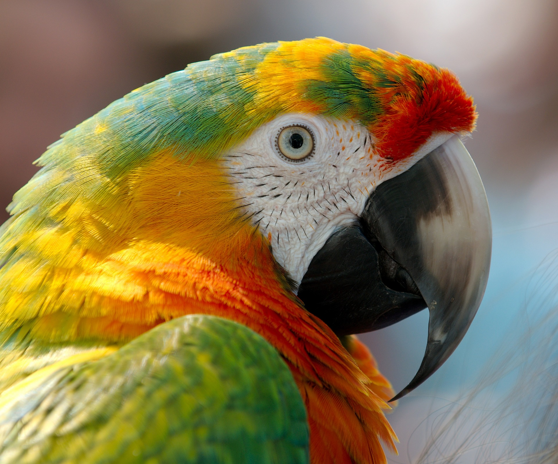 download wallpaper: Macaw papegaai wallpaper