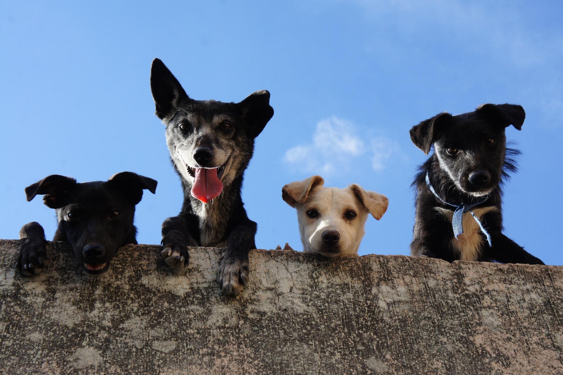 download wallpaper: nieuwsgierige hondjes wallpaper
