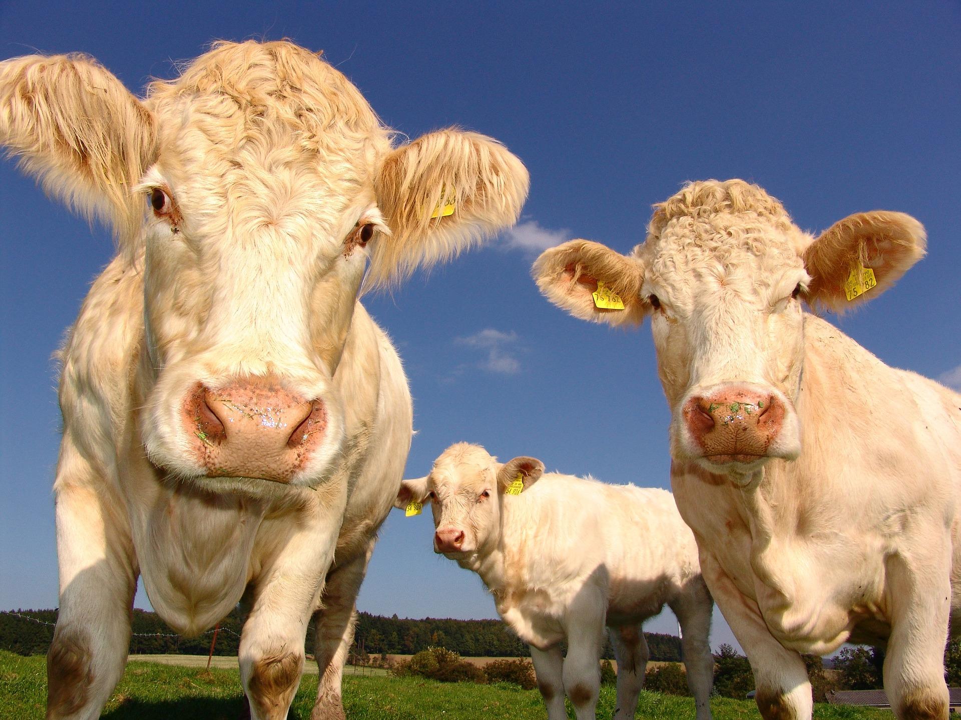 download wallpaper: nieuwsgierige koeien wallpaper