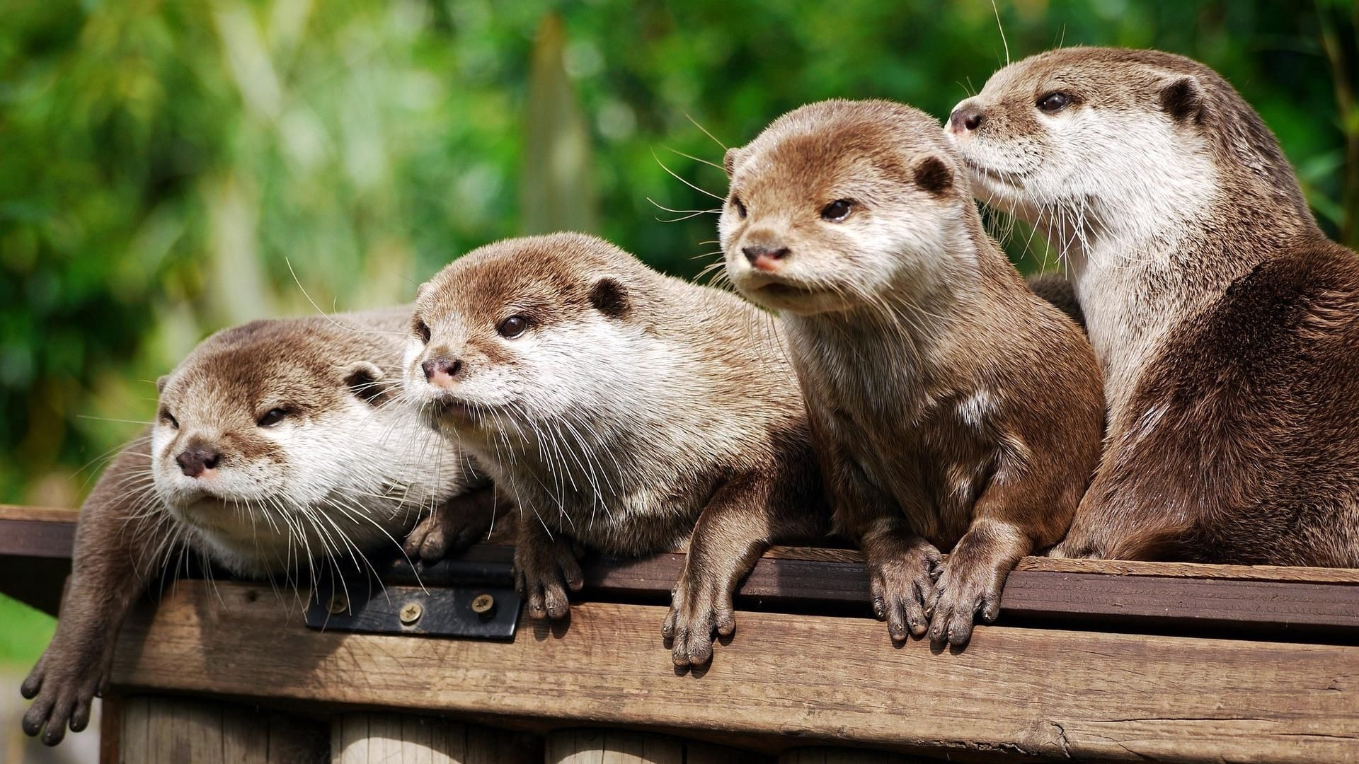 download wallpaper: otters wallpaper
