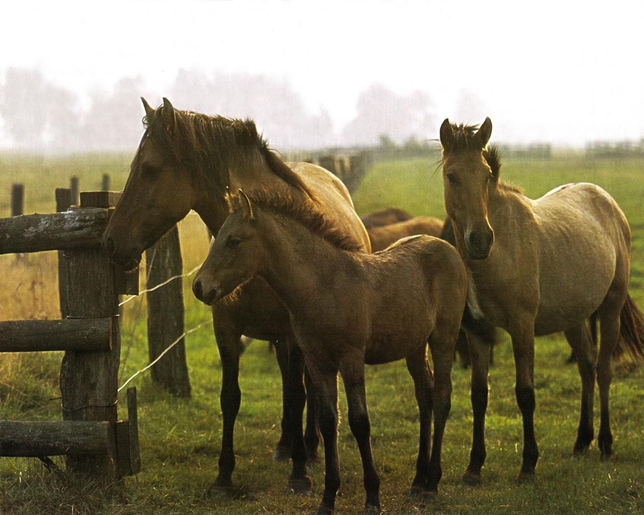 download wallpaper: paarden in de wei wallpaper