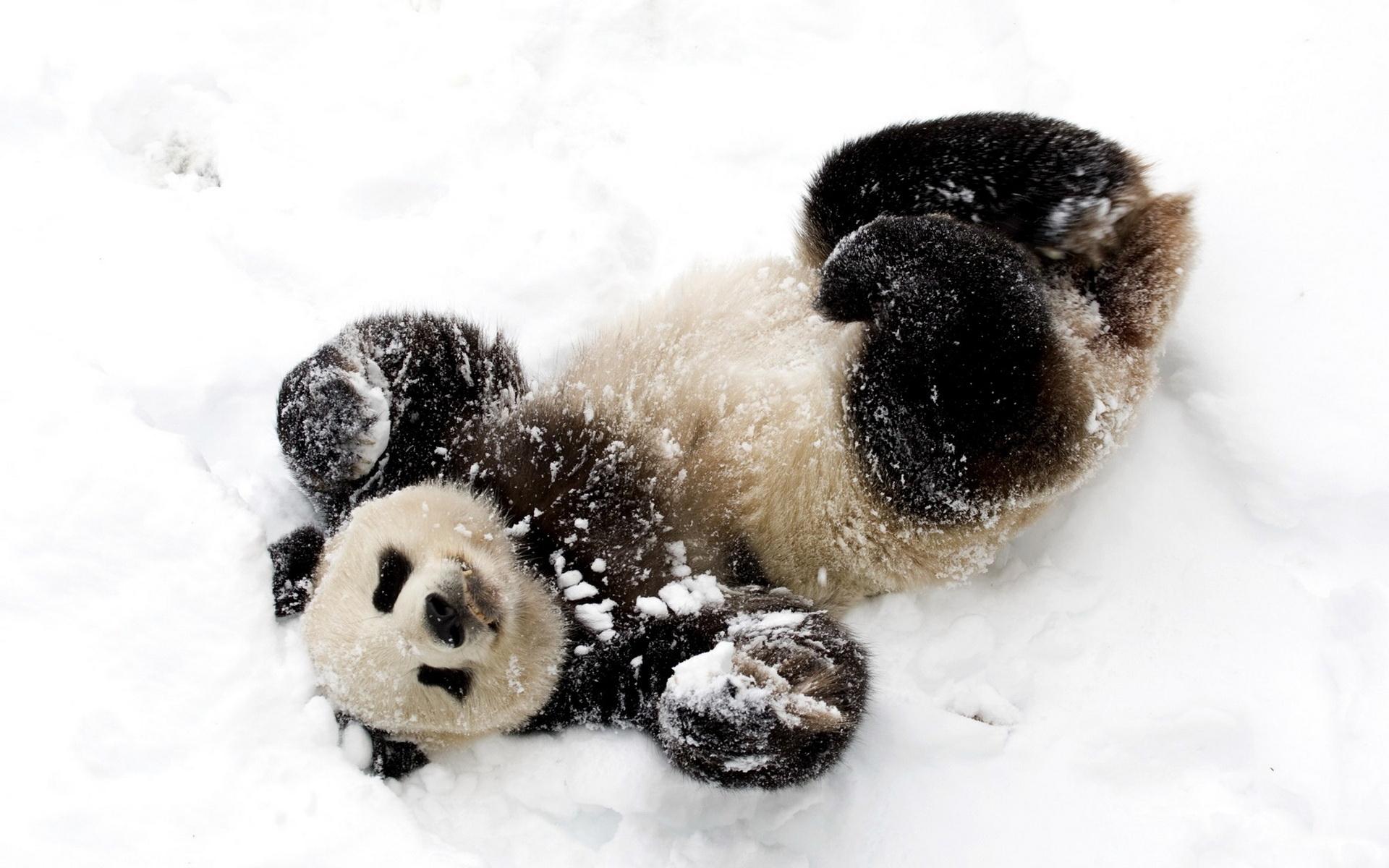 download wallpaper: panda in de sneeuw wallpaper