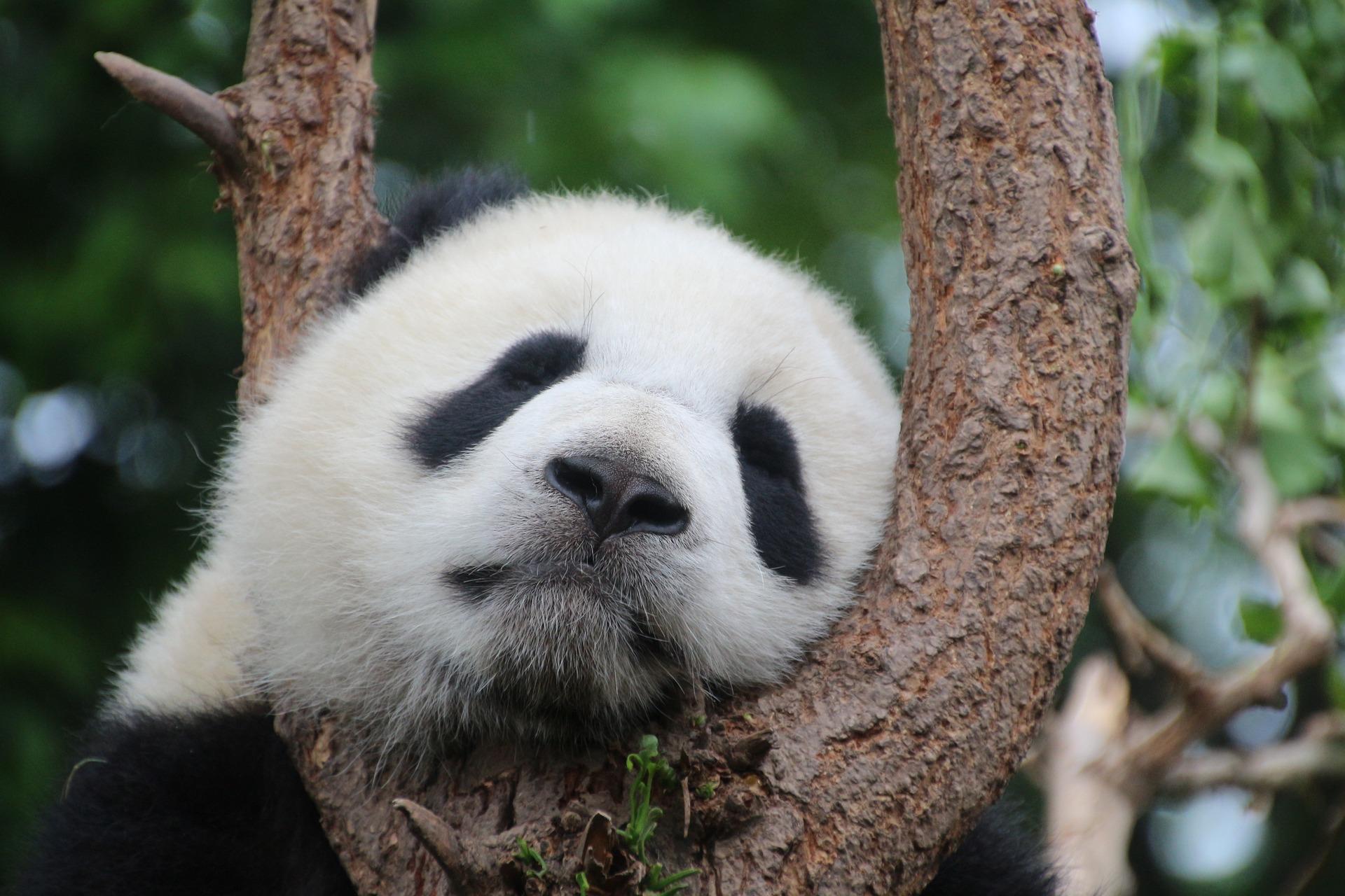 download wallpaper: panda slaapt in een boom wallpaper